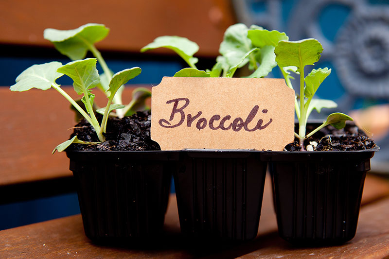 A close up of a black seedling tray containing broccoli seedlings set on a wooden surface on a soft focus background.