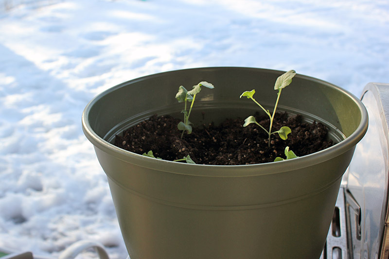 A close up of a light green plastic container with small seedlings placed outdoors with snow in the background.
