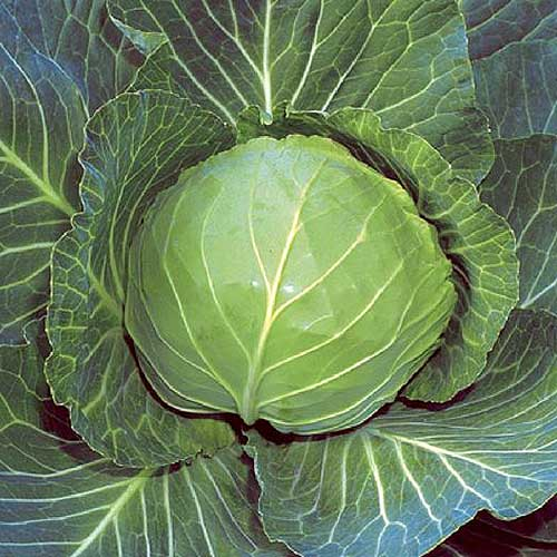 A close up top down picture of a 'Brunswick' cabbage growing in the garden ready for harvest.