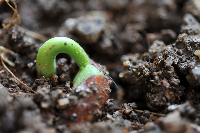 A close up of a Phaseolus vulgaris seed just starting to germinate and push through the dark rich soil.