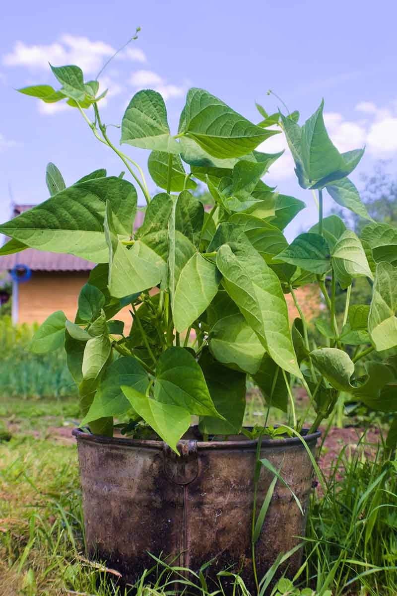 A close up vertical picture of a bush bean planted in a metal container with a house and garden scene in soft focus in the background.