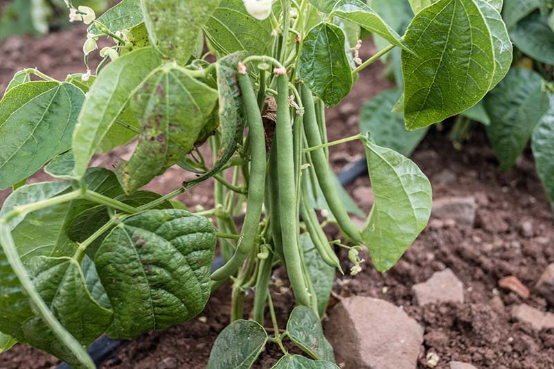 A close up of a cluster of bush beans ready for harvest with dark soil in soft focus in the background.