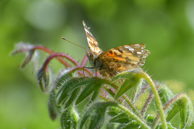 A close up of a butterfly on Borago officinalis foliage, pictured on a green soft focus background.