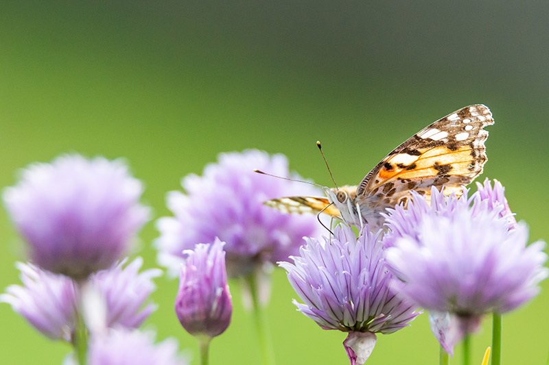 A close up of a butterfly feeding on a purple chive flower on a green soft focus background.