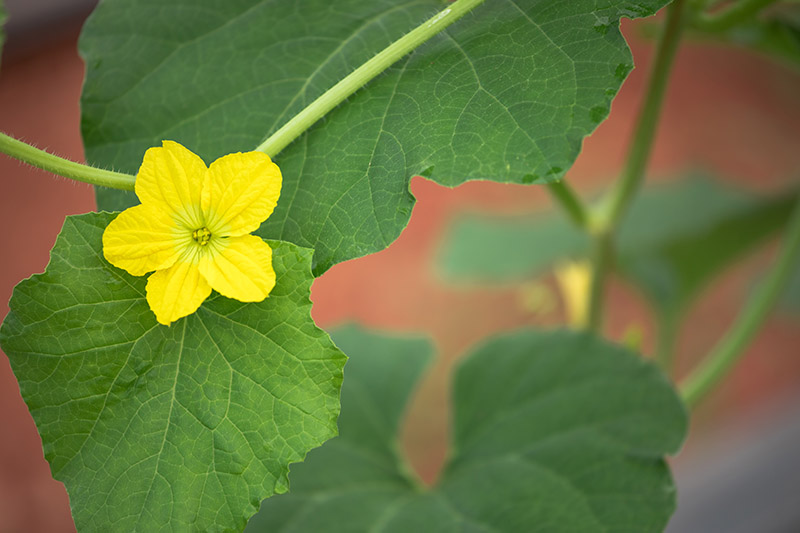 A close up of a bright yellow cantaloupe flower contrasting with the light green foliage on a soft focus background.