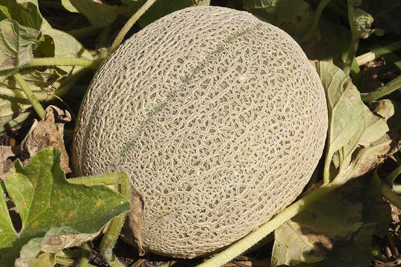 A close up of a cantaloupe melon ripe and ready for harvest, on the ground in the garden, surrounded by foliage, pictured in bright sunshine on a soft focus background.