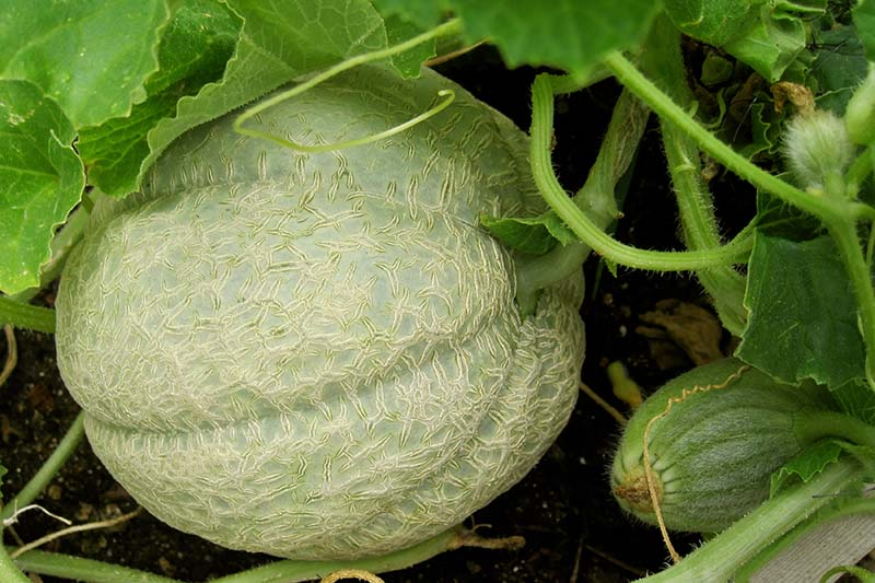 A close up of a cantaloupe ripening on the vine in the garden, surrounded by foliage on a dark background.