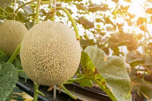 How to Grow Cantaloupe in the Garden