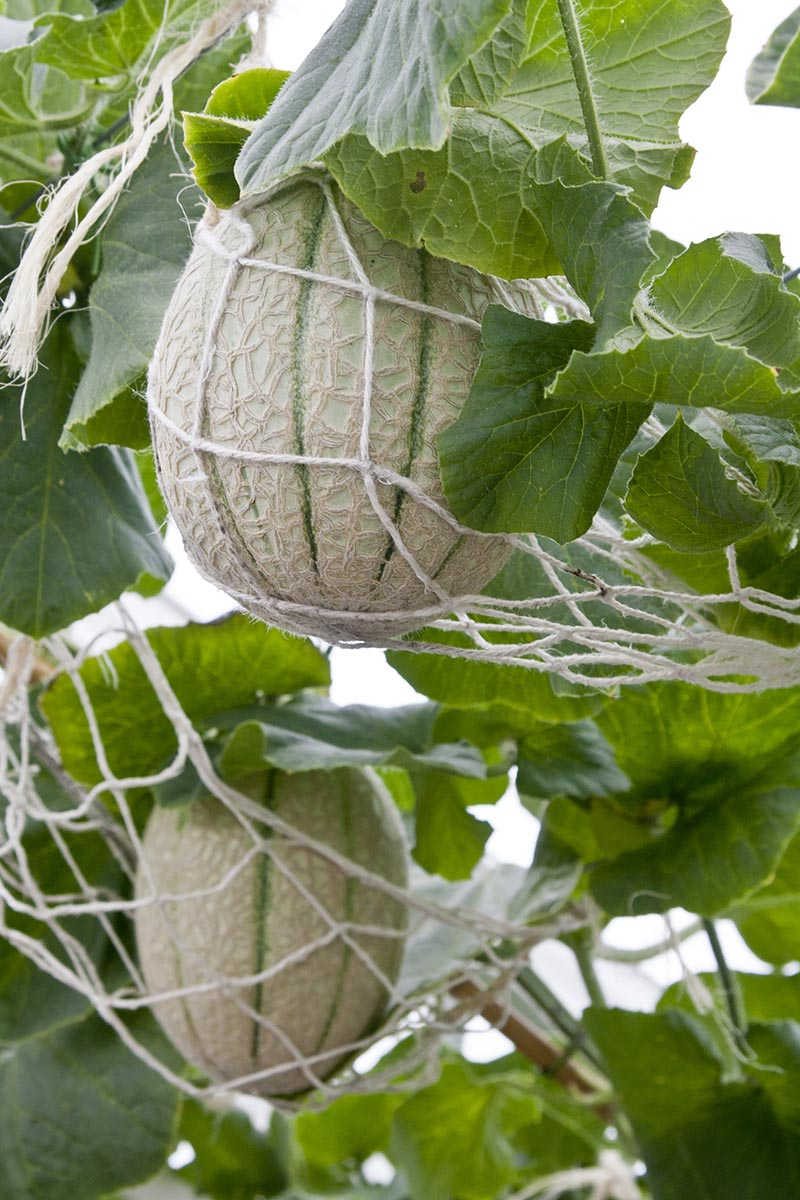 A vertical close up picture of cantaloupes ripening on the vine, supported by nets to prevent the fruits from falling off prematurely.