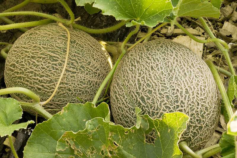 A close up of two cantaloupes ripening on the vine in the garden surrounded by foliage and pictured in light filtered sunshine.