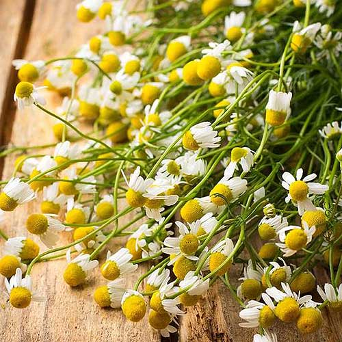 A close up of chamomile, freshly harvested with green stems and white and yellow flowers set on a wooden surface.