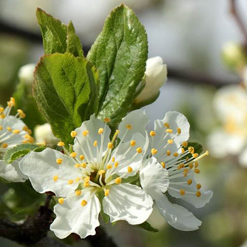 A close up of the white flower with yellow stamen of the chickasaw plum tree, on a soft focus background.