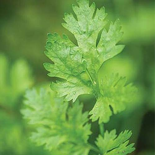 A close up of a cilantro plant growing in the garden on a soft focus background.