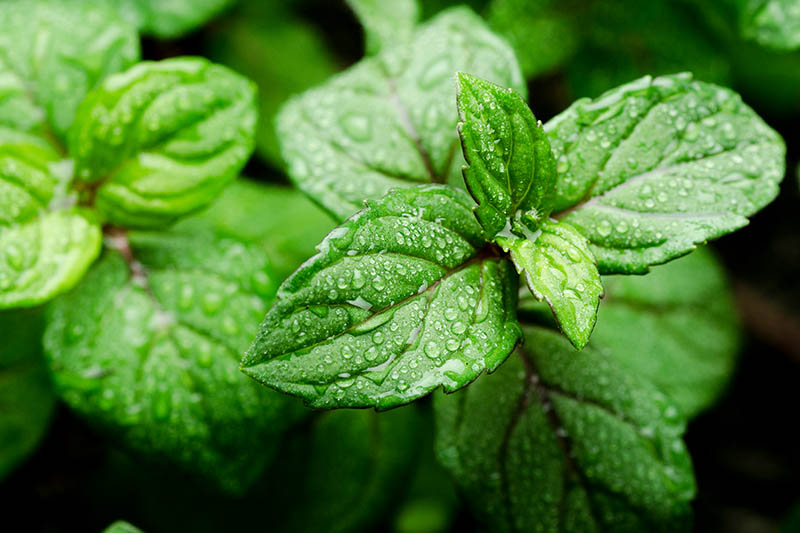 A close up of the bright green leaves of the Mentha plant, covered in water droplets on a dark soft focus background.