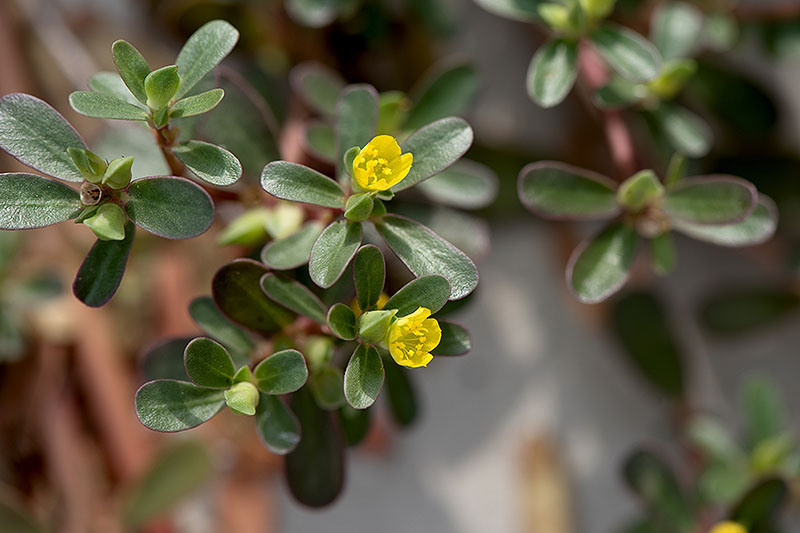 A close up of the succulent green leaves and small yellow flowers of Portaluca oleracea in light sunshine on a soft focus background.