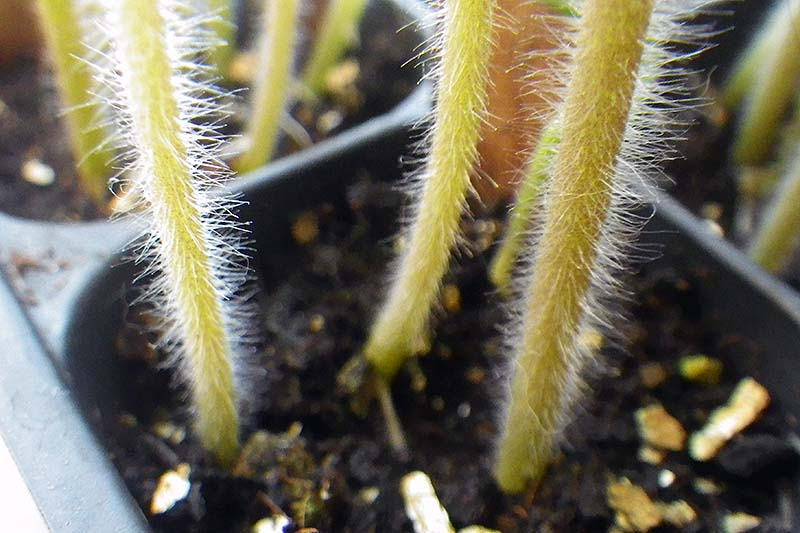 A close up of the hairy stems of a tomato plant in a black container on a soft focus background.