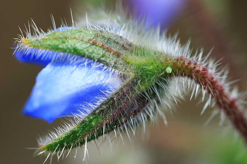 A close up of a bright blue flower of Borago officinalis showing it just about to open up, pictured on a soft focus background.