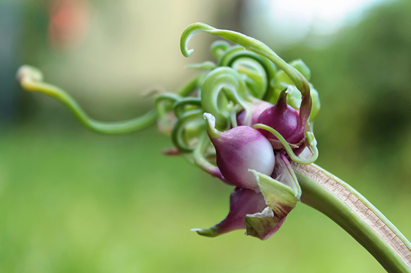 A close up of a garlic scape showing the light purple bulbils on a soft focus green background.