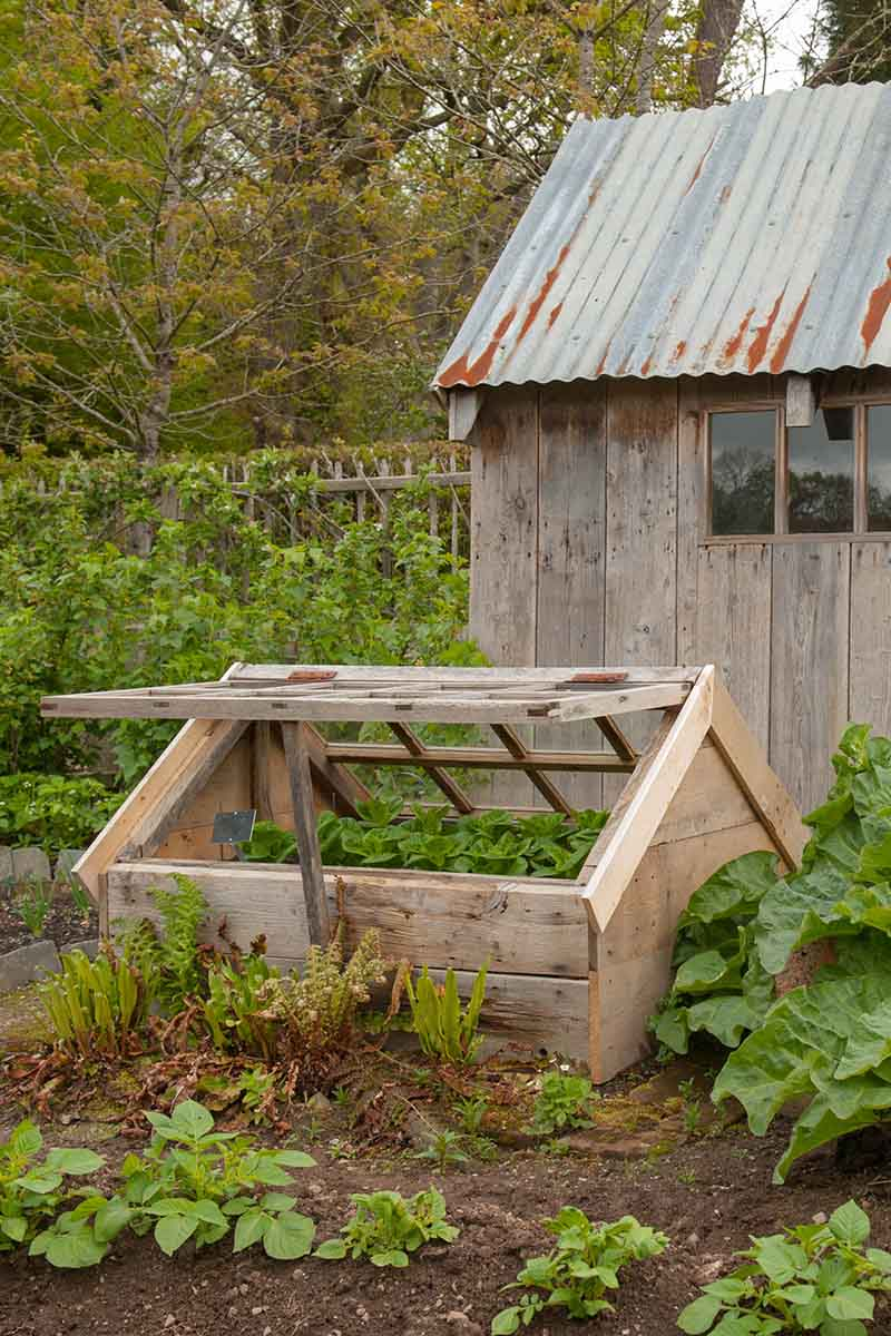 A vertical picture of a wooden cold frame partly open in the garden outside a wooden shed with a metal roof with trees in soft focus in the background.