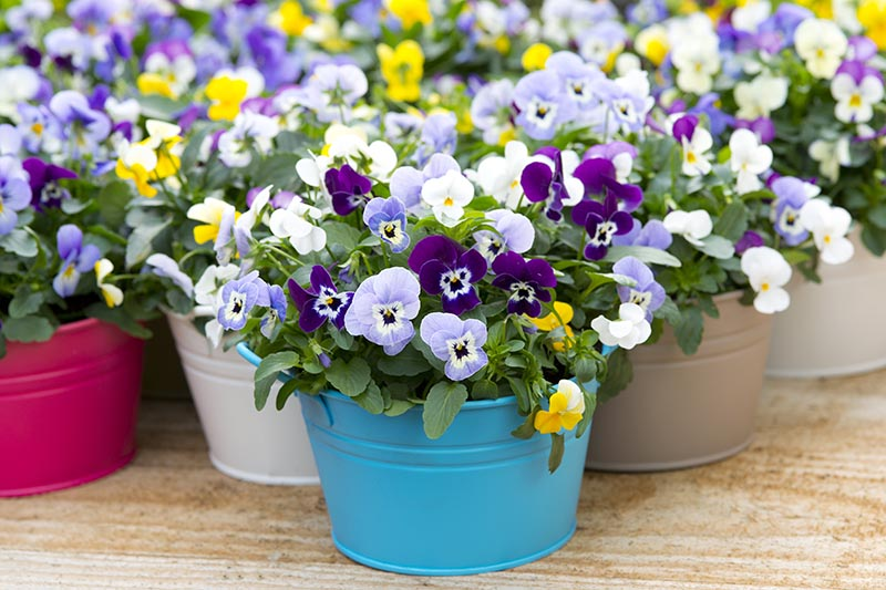A selection of decorative metal pots in a variety of colors containing blooming pansies, set on a wooden surface.