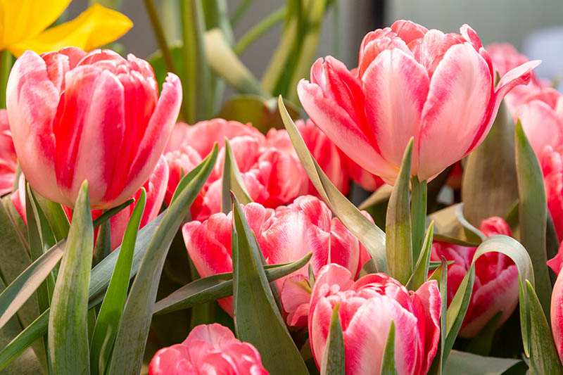 A close up of pink, red, and white multicolored tulips with foliage that is starting to turn slightly yellow at the edges, on a soft focus background.