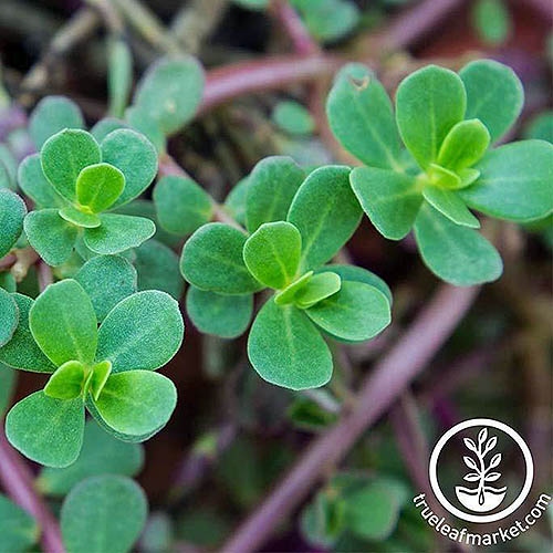 A close up of common Portulaca oleracea leaves on a soft focus background. To the bottom right of the frame is a white circular logo and text.