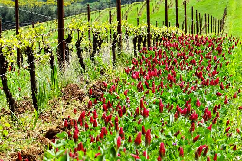 Red flowers of the clover being used as a cover crop amongst grapevines pictured in bright sunshine.