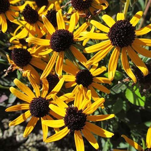 A close up of bright yellow black eyed Susan flowers pictured in bright sunshine on a soft focus background.