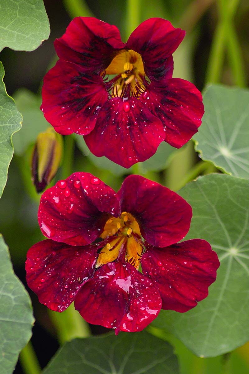 A vertical close up picture of a dark red Tropaeolum flower surrounded by green foliage on a soft focus background.