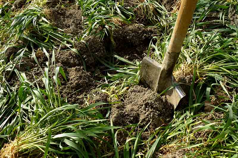 A close up of a spade digging plants into the soil for use as a green manure.