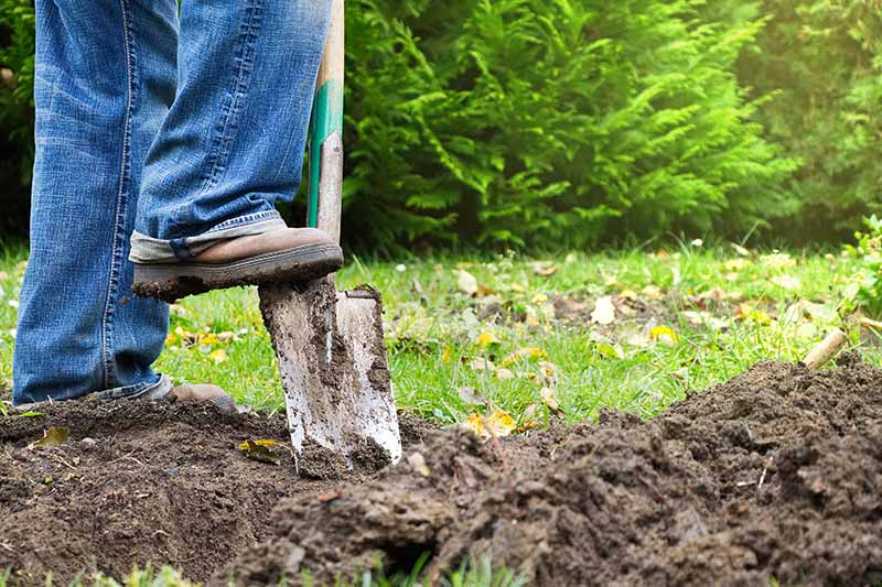 A close up of a person wearing jeans pushing a spade into the garden soil. In the background is lawn and trees in soft focus.