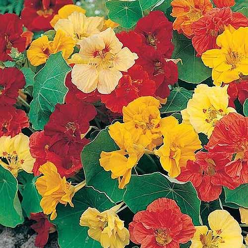 A close up of the flowers of the dwarf 'Jewel' nasturtium variety. Yellow, red, and orange flowers are surrounded by blue-green foliage.