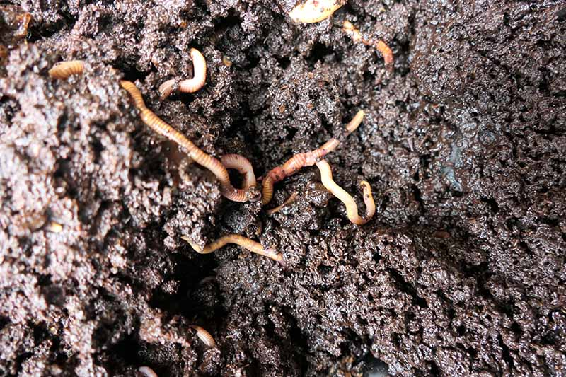 A close up top down picture of dark, moist soil with earthworms.