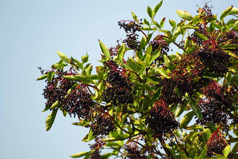 A close up of an elderberry bush with ripe, dark purple fruits growing in a container, in bright sunshine with blue sky in the background.