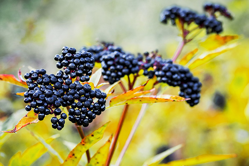 A close up of the ripe, dark purple fruits of Sambucus nigra in autumn sunshine with yellow foliage on a soft focus background.