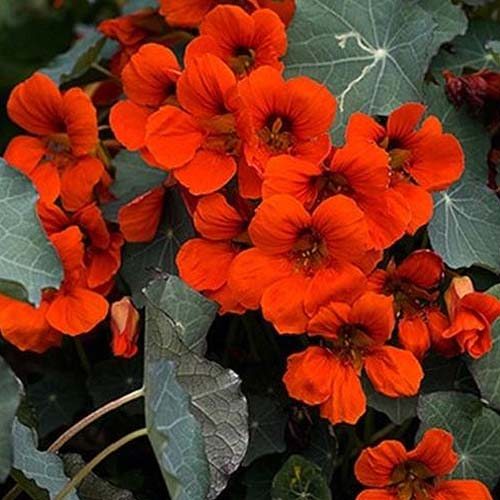 A close up of the bright red flowers of Tropaeolum 'Empress of India,' surrounded by dark green foliage.