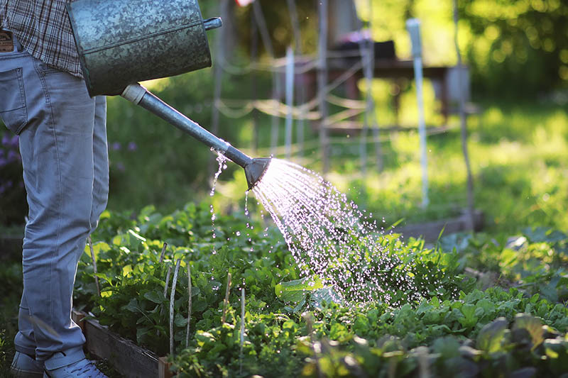 A close up of a gardener on the left of the frame holding a metal watering can and irrigating a raised vegetable garden in the light sunshine, on a soft focus background.
