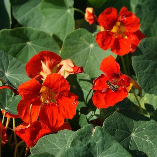 A close up of the bright red flowers of 'Fiery Festival' nasturtiums, growing in the garden, in bright sunshine, surrounded by foliage that fades to soft focus in the background.