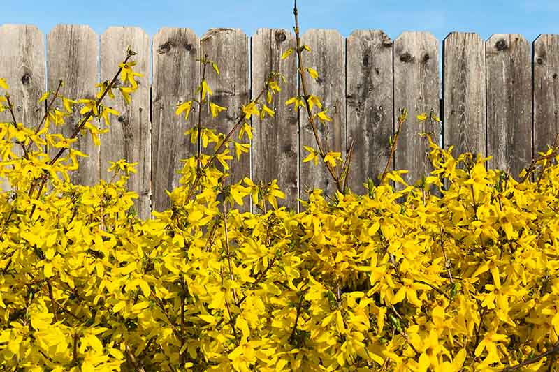 A close up of a flowering forsythia hedge with bright yellow flowers in front of a wooden fence with a blue sky background.