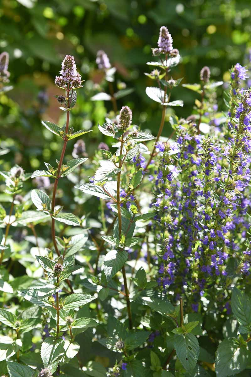 A vertical close up of a Mentha plant growing in the garden in bloom with small purple flowers, in bright sunshine on a soft focus background.