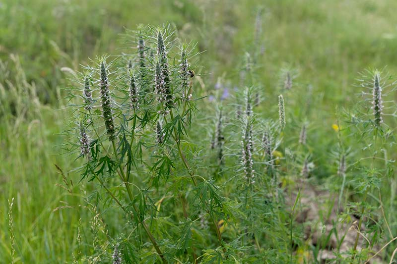 A close up of motherwort growing in a field, with upright stems and small flowers on a soft focus background.