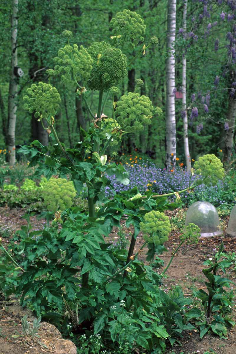 A vertical picture of A. archangelica growing in a woodland setting with green flowers atop dark red stems and foliage at the bottom of the plant.