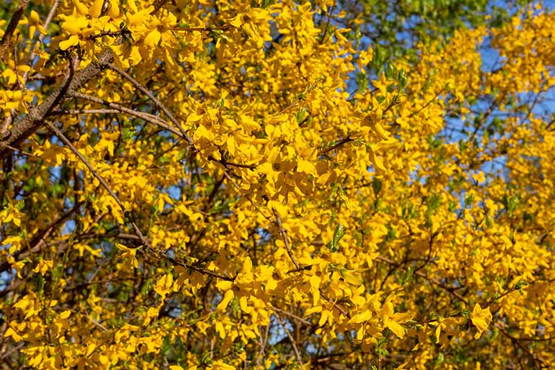 A close up of a large forsythia in full bloom with yellow flowers and green foliage, pictured in bright sunshine with blue sky in the background.
