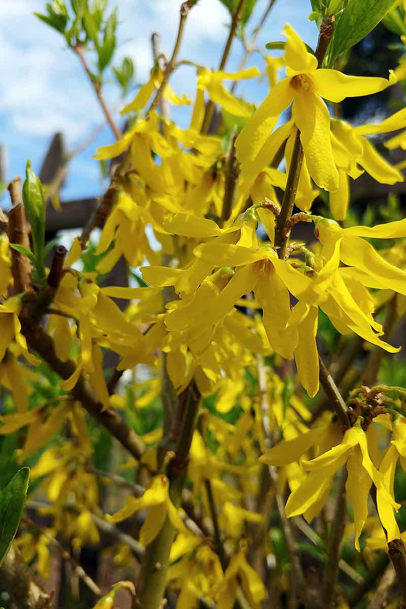 A vertical close up picture of bright yellow forsythia blooming in springtime, with light green foliage with blue sky in soft focus in the background.