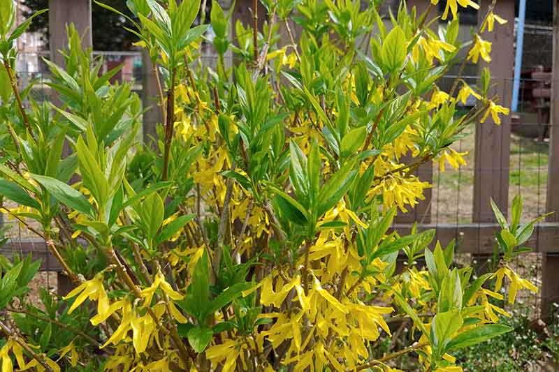 A close up of a forsythia shrub with fresh green foliage and bright yellow blooms, growing in the garden, with a fence in soft focus in the background.