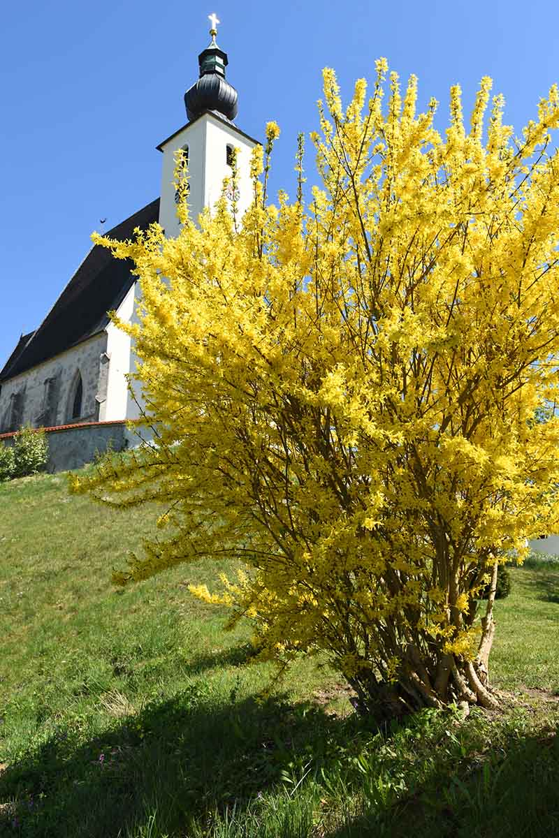 A vertical picture of a forsythia shrub with bright yellow blooms planted in a lawn with a church in the background and blue sky.
