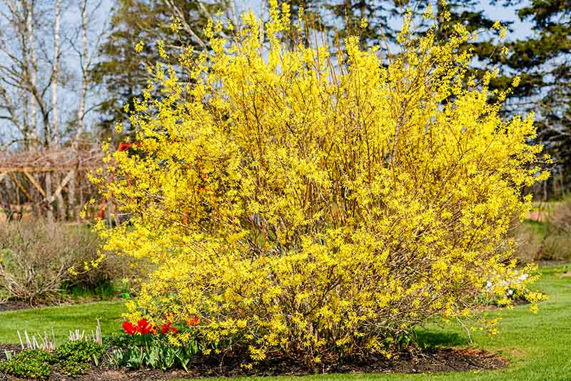 A large, mature forsythia shrub growing in the garden, in full bloom with bright yellow flowers in springtime, amongst tulips, with lawns surrounding it and trees in soft focus in the background.