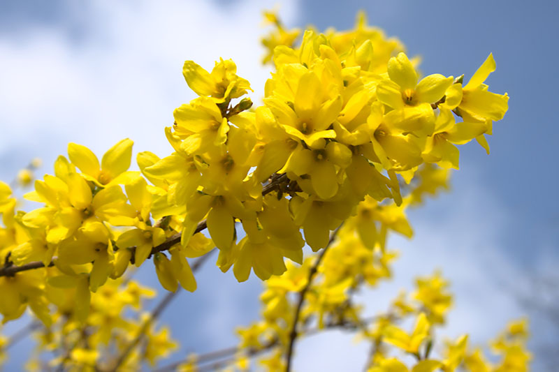 A close up of the densely packed bright yellow blooms of the spring flowering forsythia, with blue sky and clouds in the background.