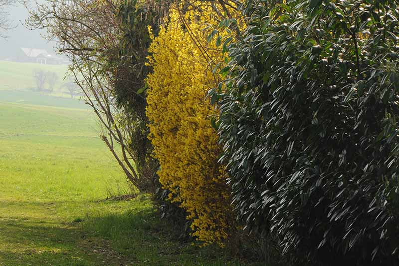 On the edge of a green field grows a large forsythia plant with bright yellow spring blooms, surrounded by green foliage.