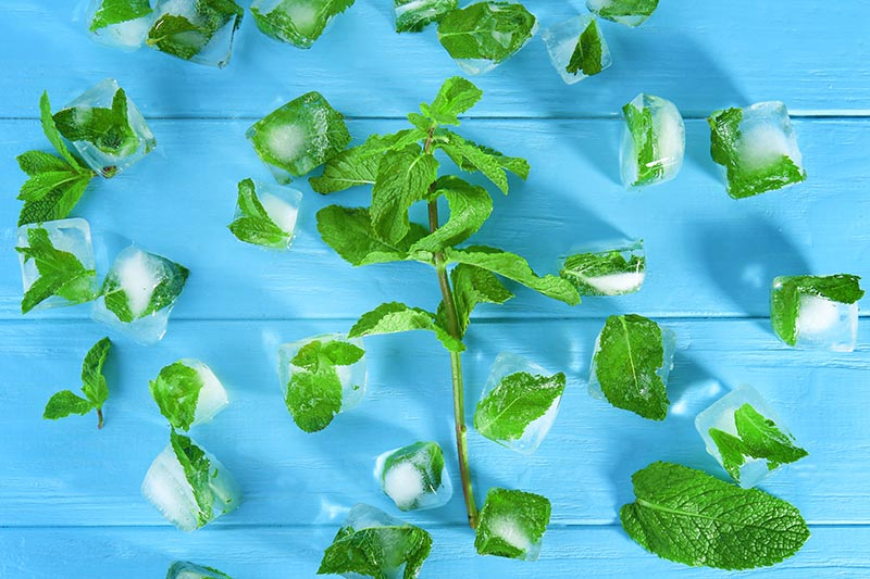 A close up of a Mentha sprig and leaves set in ice cubes on a bright blue background.